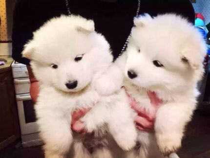 Samoyed puppy Springvale Greater Dandenong Preview