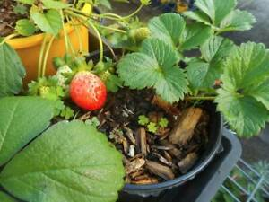 Stawberry plants West Ballina Ballina Area Preview
