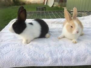 Adorable Bunny Rabbits Valley View Salisbury Area Preview