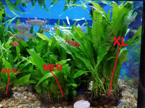 Medium Java Fern mat (between 15 and 30 plants) BFFGA