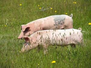 """Free Range """"Spit Roast"""" Pigs 2 only Deloraine Meander Valley Preview"""