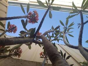 STUNNING FRANGIPANI TREES Hocking Wanneroo Area Preview