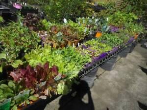 Lettuce, Kale, Peas n Beans, Asian vegetables, Herbs, Basil, Chillis West Ballina Ballina Area Preview