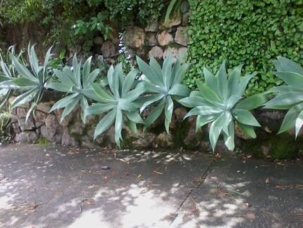 Lovely agaves - drought proof!