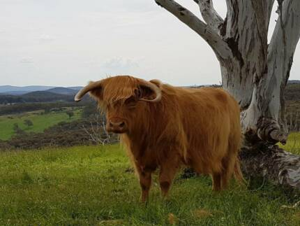 Scottish Highland Cattle For Sale + Cattle Yard