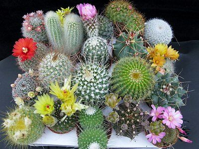 Cactus Mix 50+ seeds for sale  Canada