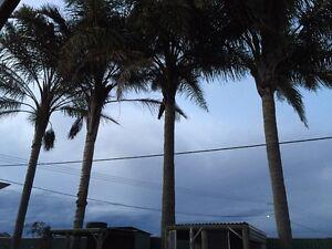 Mature Palm Trees - Archontophoenix alexandrae (Alexandra Palm) Singleton Singleton Area Preview