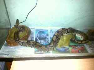 Python for sale, need gone ASAP!!