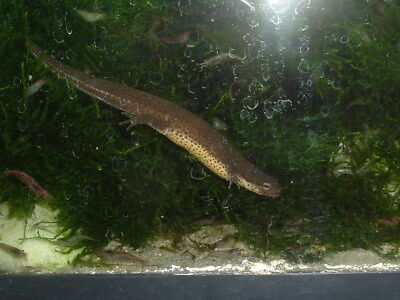 3  Live Central Newts FREE SHIPPING!!