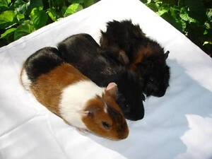 BABY GUINEA PIGS FOR SALE Menai Sutherland Area Preview