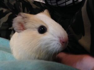 Male baby guinea pig!