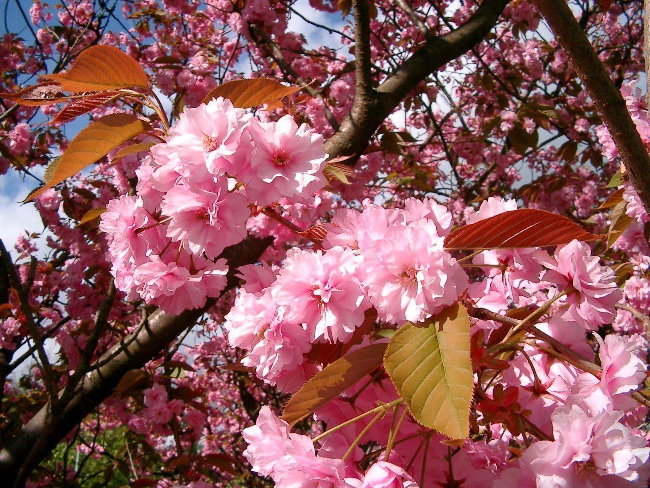 1 Anese Flowering Cherry Kanzan 4 5ft Tall Large Deep Pink Flowers