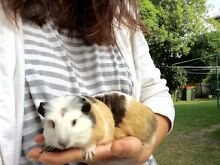 Cute little Guinea pigs West Ryde Ryde Area Preview