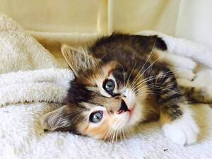 Kitten and Cats for Adoption 24 Sept Crows Nest (WLPA) Crows Nest North Sydney Area Preview