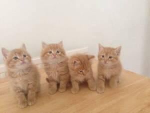 Cute Ragdoll X Kittens Geelong Geelong City Preview