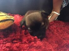 Female Chihuahua x Mini Foxie Puppy Richmond Hawkesbury Area Preview