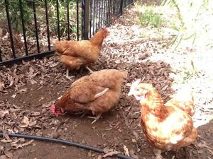 Chickens - 4 Laying Hens - 4 eggs per day !! Midland Swan Area Preview