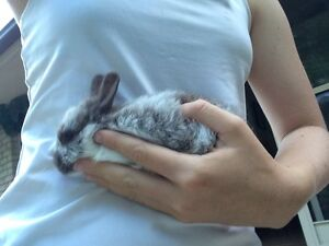 I have baby rabbits for sale New Brighton Byron Area Preview