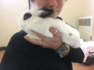 Dwarf White Hotot Bunny for Sale