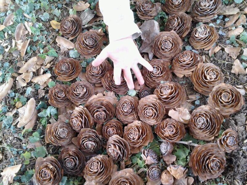 50 Super Cedar roses For Karla