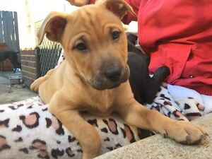 Staffy x puppies for sale Strathfield Strathfield Area Preview