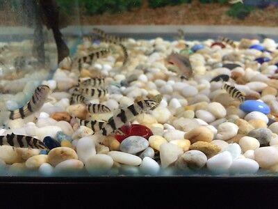 Yoyo loach (Botia almorhae) - Almora/Pakistani Loach - Freshwater Tropical Fish
