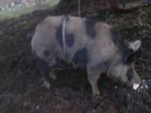 pig 2 year old no longer needed very friendly Ravenswood Launceston Area Preview