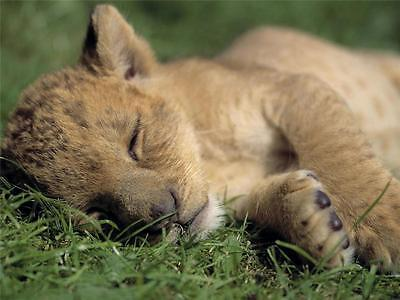 Lion Cub Picture (SLEEPING LION CUB GLOSSY POSTER PICTURE PHOTO beautiful wild adorable 2114 )
