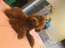 Looking for a toy poodle,tiny maltese or Pomeranian puppy Melbourne CBD Melbourne City Preview