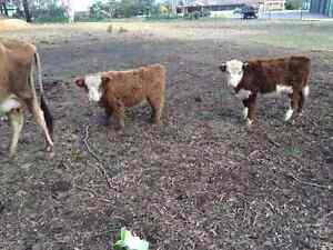 2 minuature steers Marsden Park Blacktown Area Preview