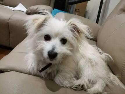 Pomeranian Maltese puppy for sale
