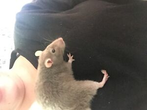 Rat babies for sale! Bedford Bayswater Area Preview