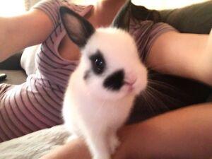 Bébé lapin nain néerlandais MAGNIFIQUE!!