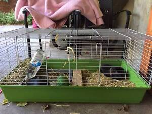 Gorgeous guinea pigs with belongings for new home Ryde Ryde Area Preview