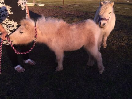 Miniature horse filly Raymond Terrace Port Stephens Area Preview