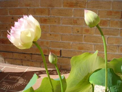 Water Lotus Plant Potted East Kurrajong Hawkesbury Area Preview