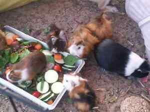 PERUVIAN ABYSINNIAN (aka ABYRUVIANS) GUINEA PIGS - RESERVE ONLY! Dianella Stirling Area Preview