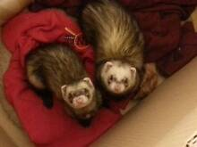 2 Ferrets and Cage Stirling Stirling Area Preview