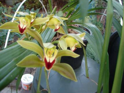 CYMBIDIUM ORCHID  IN FLOWER Camberwell Boroondara Area Preview