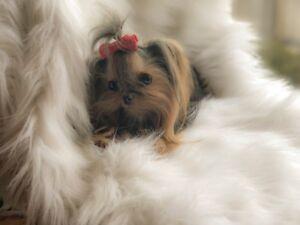 Yorkie Adopt Or Rehome Pets In Toronto Gta Kijiji Classifieds