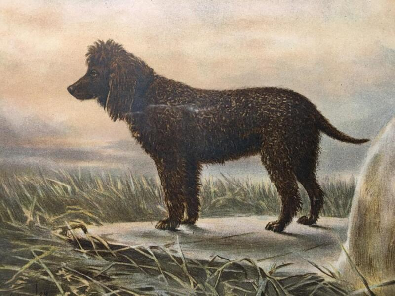 Irish Water Spaniel Book of the Dog Chromolithograph Cassell London 1881 Framed