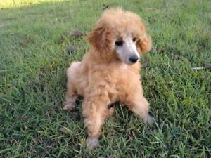 Poodle female puppy