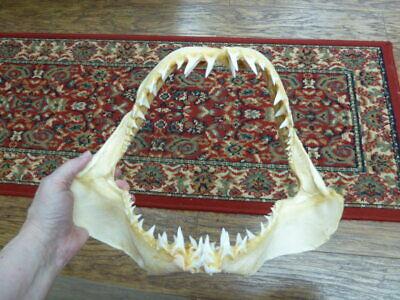 "(#SJ250-125) Mako shortfin SHARK 13"" wide jaw sharks jaws teeth taxidermy"