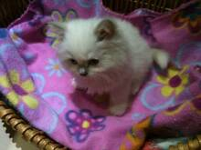 Purebred Ragdoll Cat and Kittens West Pymble Ku-ring-gai Area Preview