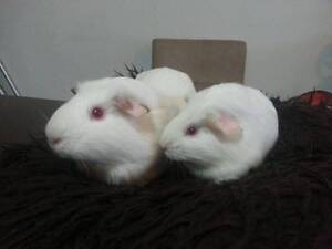 Two Female Guinea Pigs Artarmon Willoughby Area Preview