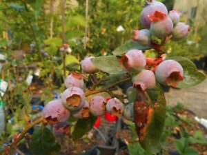 Blueberry plants, from $8 - x6 varieties West Ballina Ballina Area Preview