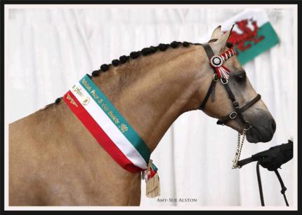 Buckskin Part Welsh Stallion