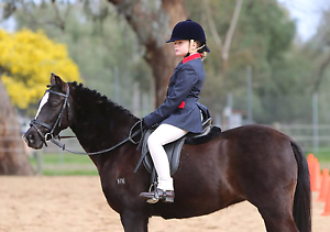 Registered welsh x riding pony mare Wahgunyah Indigo Area Preview