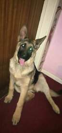 German Shepherd 7 months old