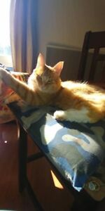 Missing male neutered orange and white cat.west end ptb